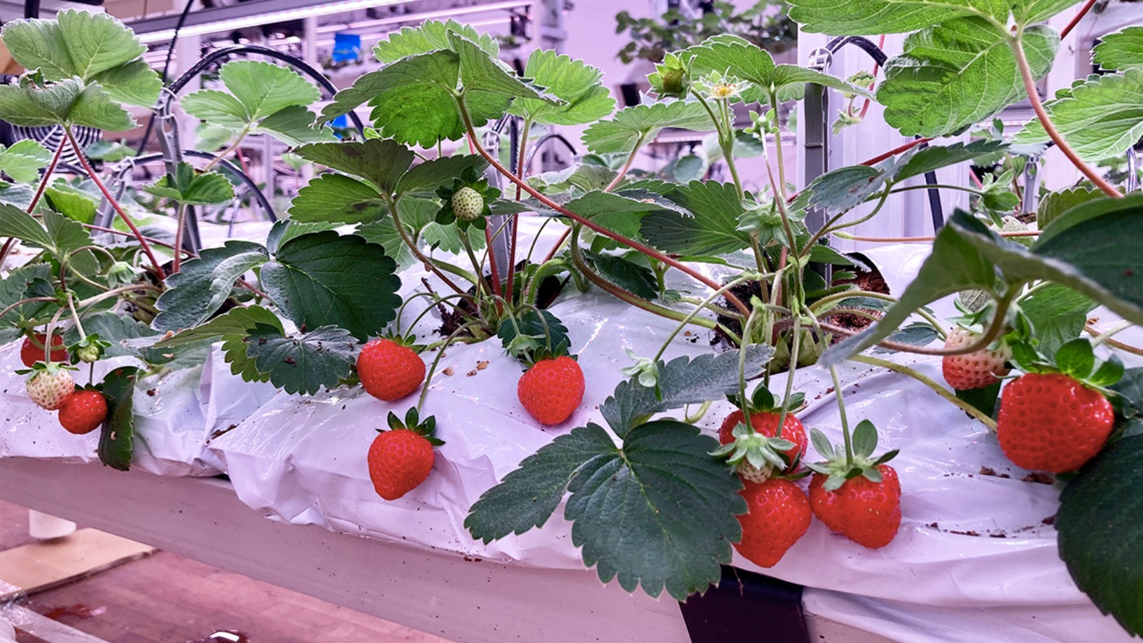 Singrow to start selling Singapore-grown strawberries in March, plans $15m Series A this year