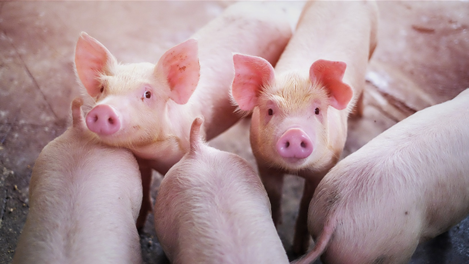 SmartAHC: Wearables for pigs and smart farm management to boost productivity