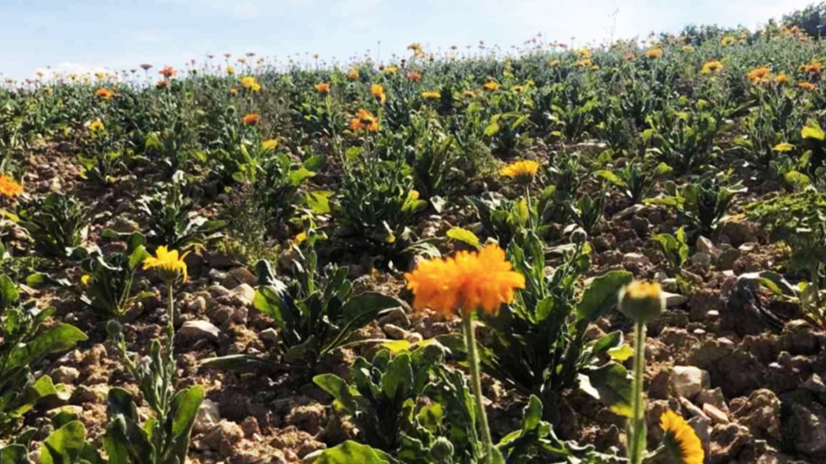 Biomede: Harnessing plants' natural attributes to decontaminate soil