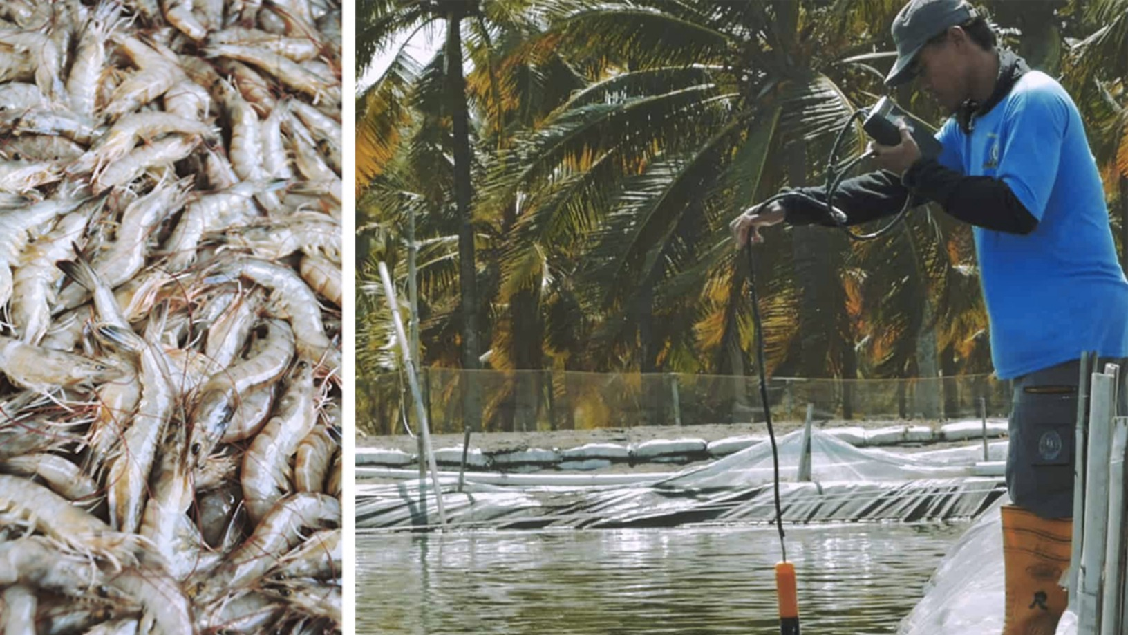 Shrimp-farming data made easy: Interview with JALA's CEO Liris Maduningtyas